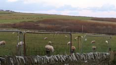 Early morning wet sheep in the field behind the house.