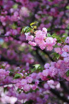 sakura-blossoms:    紅華(こうか) by U3K-Y on Flickr.