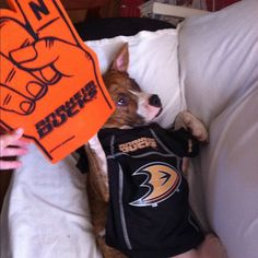This doggie Ducks fan, named Scully, is full of Dedication and looks ready to go to a game at Honda Center!