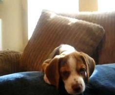 Beagle Puppy Howl – Video