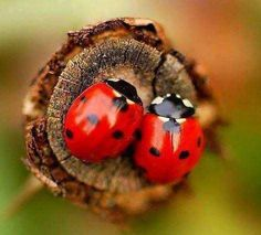 Two lady bugs in love