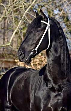 Friesian stallion,  gorgeous