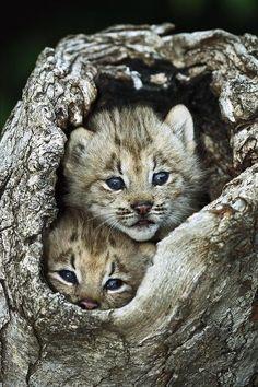 Beautiful Mother Nature: lynx pair