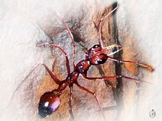 """Bull Ant"" Water colour pencils and watercolour by Pat benkendorff"