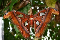 Attacus atlas moth (World's largest moth)