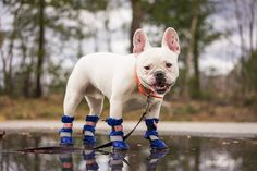 Otis wearing our Walkin' All Weather Boots