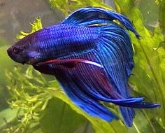 betta We got George for my mothers' birthday. He looked alot like this betta, but was a deeper blue. Colorful Fish, Tropical Fish, Freshwater Aquarium, Aquarium Fish, Betta Fish Types, Fish Costume, Shark Bait, Fish Care, Beta Fish
