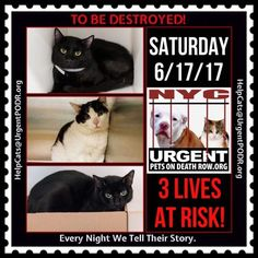"TO BE DESTROYED 6/17/17 - - Info Please share View tonight's list here: http://nyccats.urgentpodr.org/tbd-cats-page/. The shelter closes at 8pm. Go to the ACC website( http:/www.nycacc.org/PublicAtRisk.htm) ASAP to adopt a PUBLIC LIST cat (noted with a ""P"" on their profile) and/or … CLICK HERE FOR ADDITIONAL…Please…Please...- Click for info & Current Status: http://nyccats.urgentpodr.org/to-be-destroyed-32017/"