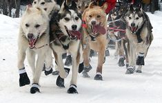 Sled dogs at the at the ceremonial start of the Iditarod (from Mitch Seavey's 2010 team) / Frank Kovalchek (Creative Commons Attribution 2.0 Generic license)