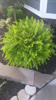 My ferns