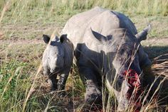 This one month-old calf was found  screaming next to the body of her mother, after she was hacked to death for her horn.  Easter weekend, Alma, Limpopo, South Africa.  The 164th rhino to be killed in South Africa In This Year.