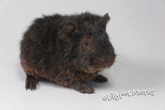 Braveheart, US Teddy Meerschweinchen in Schoko-Gold-Loh (Schoko-Tan)
