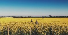 Canola Field, Fields, Vineyard, Victoria, Instagram Posts, Outdoor, Outdoors, Vine Yard, Vineyard Vines