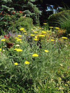 Floating yellow yarrow flower looks so pretty in any garden.