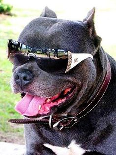 Pitbulls Lovers's photo:
