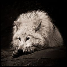 I may be a lone wolf. but I cant live on my own. I have friends I love them like family. but that never means they love or care for you back. Beautiful Creatures, Animals Beautiful, Cute Animals, Wolf Spirit, Spirit Animal, Tier Wolf, Wolf Hybrid, Husky, Howl At The Moon
