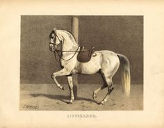 The Prints Collector :: Antique Lippizaner, Hunting Art, Vintage Horse, Horse Drawings, Unusual Art, Horse Print, Equine Art, Horse Pictures, Horse Love