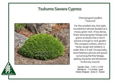 Tsukumo Sawara Cypress Ideal for the smallest site, Chamaecyparis pisifera 'Tsukumo' is arounded bun that almost doubles as a mossy green rock. It has dense, finely textured green foliage and grows…