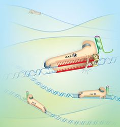 Cheap and easy technique to snip DNA could revolutionize gene therapy (Graphic by Jennifer Doudna/UC Berkeley)
