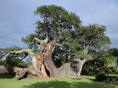 Nine of Africa's 13 largest and oldest baobabs have suddenly collapsed and died, likely due to climate change, say scientists who study these ancient and iconic trees