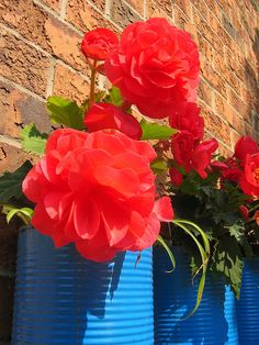 Begonias in pizza sauce can affixed to exterior brick, Toronto, Canada   Flickr - Photo Sharing!