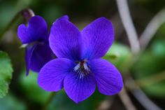 My sweet violets ... first signs of spring