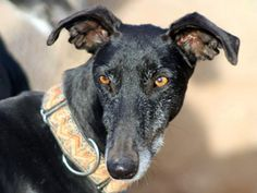 Ronaldo Age: ? Gender: Male Breed Type: Galgo