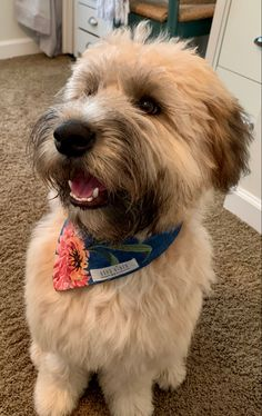 Upbeat style for the happy-go-lucky pup by goodvibesdogco Boxador Puppies, Whoodle Dog, Cute Dogs Breeds, Cute Dogs And Puppies, Dog Breeds, Doggies, Wheaton Puppy, Wheaton Terrier Soft Coated, Wheaten Terrier Puppy