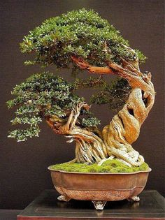 BONSAI➕More Pins Like This At FOSTERGINGER @ Pinterest ➖ ✖️