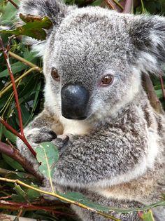 Koala buried in food