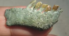 Dinossauro Vegetariano – Mandíbula e dentes de um Chilesaurus diegosuarezi são exibidos nesta foto sem data fornecida pela Universidade de Birmingham, na Inglaterra. Os cientistas descobriram fósseis de um dinossauro no sul do Chile, que possui uma combinação tão incomum de traços que eles o comparam a um ornitorrinco, mamífero ovíparo excêntrico da Austrália, que possui bico semelhante ao de um pato