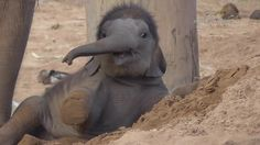 One Month Old Baby Elephant