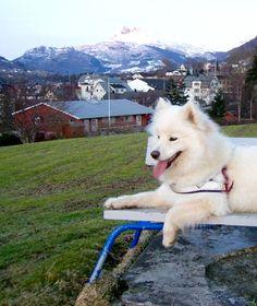 Samoyed Puppy :)...