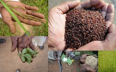 Medicinal Rice based Tribal Medicines for Diabetes Complications and Metabolic Disorders (TH Group-767) from Pankaj Oudhia's Medicinal Plant Database. Encyclopedia of Tribal Medicines by Pankaj Oudhia. #TribalMedicines