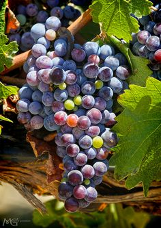 Temecula wine grapes