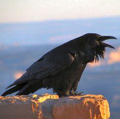 Common Raven.  Love the feather beard.