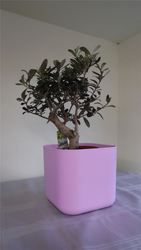 Thick stem olive bonsai