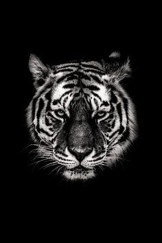 Poster van een tijger in zwart wit. Dit schilderij is beschikbaar op geborsteld aluminium / plexiglas / canvas / dibond / hd metaal / papier.