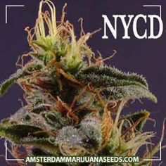 New York Diesel seeds | New York City Diesel has its roots in the Big Apple.Its famous for its exotic ripe red grape smell a...