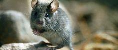 ¿Sabéis distinguir entre un ratón o una rata si os encontráis uno en casa? ¡Os lo enseñamos!