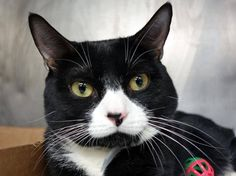 PULLED BY ANJELLICLE - NYC **Lovely Boy** TO BE DESTROYED 01/26/15 Panda allows the stroke, cautious with his surroundings and remains curled up in place. PANDA tolerates attention and petting but may be fearful in the shelter.ID #A1025244. Male black & white about 1 YEAR STRAY