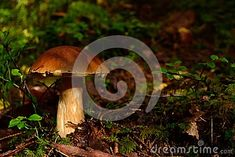 Photo about Delicious mushroom in natural habitat forest in Norway Closeup Food ingrediens cooking. Image of boletus, forest, food - 108903423 Mushroom Pictures, Habitats, Norway, Stuffed Mushrooms, Cooking, Natural, Image, Food, Stuff Mushrooms