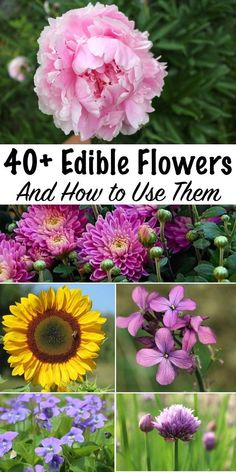 Edible Flowers & How to Use Them ~ Edible Flower Recipes for some of the most common garden blossoms ~ There's more to eat in grandma's perennial garden than you realize. You don't often think of grandma's flower garden as a good place to harvest your Permaculture Design, Permaculture Garden, Edible Wild Plants, Flower Food, Wild Edibles, Healing Herbs, Edible Garden, Medicinal Plants, Gardening Tips