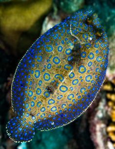Flashing Peacock Flounder