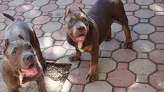 Purebred American Bully - Pocket puppies & dogs for sale. American Bully Pocket, Pocket Bully, Puppies For Sale, Dogs And Puppies, Bully Dog, Pitbulls, Play, Animals, Animales