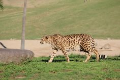 Wild Animals Pictures, Animals Images, Animal Pictures, Cheetah Pictures, Deer Running, San Diego Zoo, Large Animals, East Africa, Best Funny Pictures