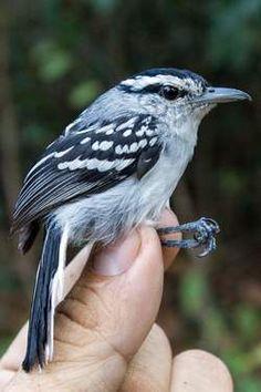Vijftien nieuwe vogelsoorten ontdekt in Amazone - HLN.be De 'chorozinho-do-aripuana'