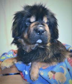 Fantastic Shar Pei Chubby Adorable Dog - 15c19ffcac725ebd22ce75148bc37004--dog-shar-pei-shar-pei-mix  Photograph_652972  .jpg