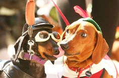 This is Chilli giving Bangers a nice old lick on the nose. | 17 Pictures Of Sausage Dogs In Costumes That Will Make You Smile