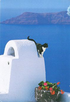 Cat on Island of Santorini, Greece..WOW, beautiful!